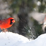 A Cardinal Telling A House Finch That It's Time To Move On