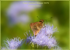 Fawn-spotted Skipper Texas butterfly photography by Ron Birrell, DSC_5579