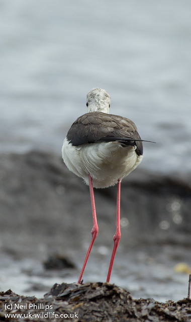 black winged stilt - i can still see you