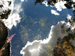 Aquatic Utricularia uliginosa