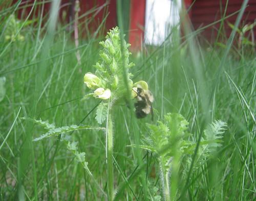 Lousewort and bumblebee