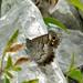 Small photo of Striped Grayling (Pseudotergumia fidia)