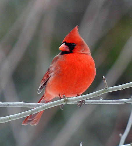 Northern Cardinal - Bedminster, NJ by JFPescatore
