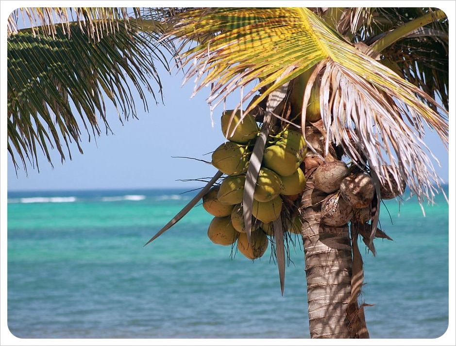 coconut palm tree mexico