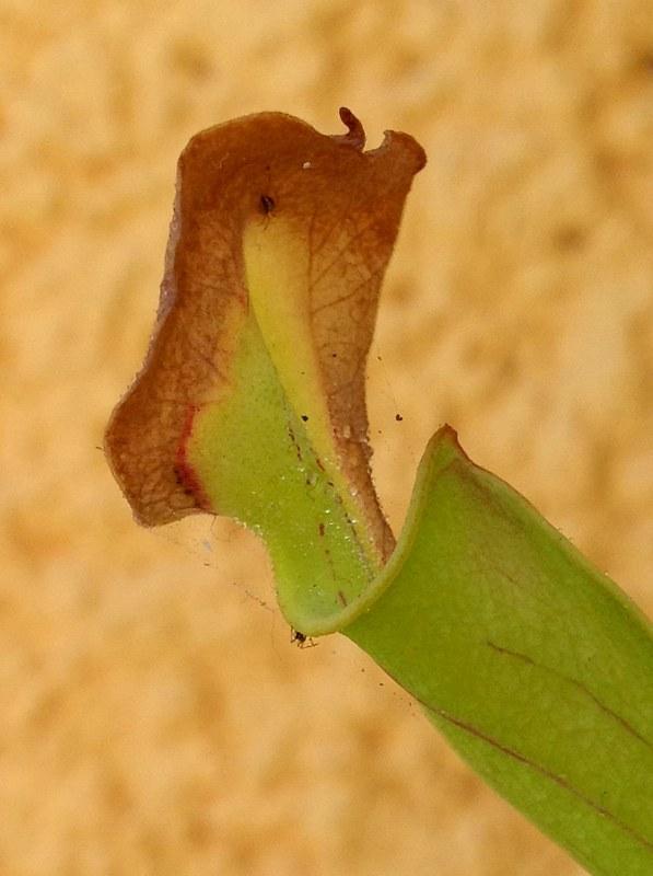 Sarracenia Flava y araña