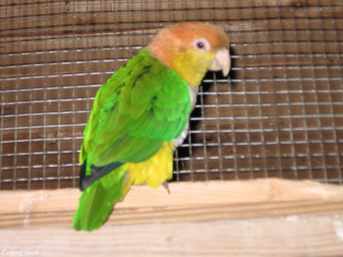 White-bellied caique (1st of 2 photos) by Coyoty