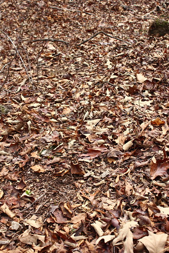 Leaves disturbed by turkeys