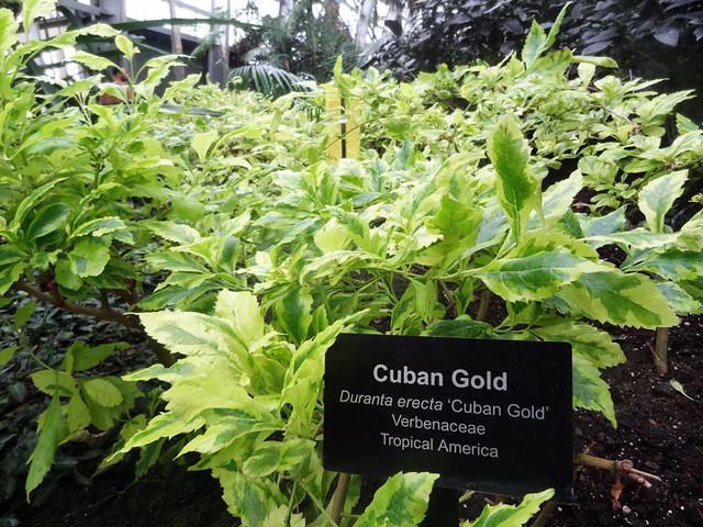 cuban-gold