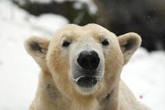 Eisbären Yoghi&Giovanna sind wieder zusammen