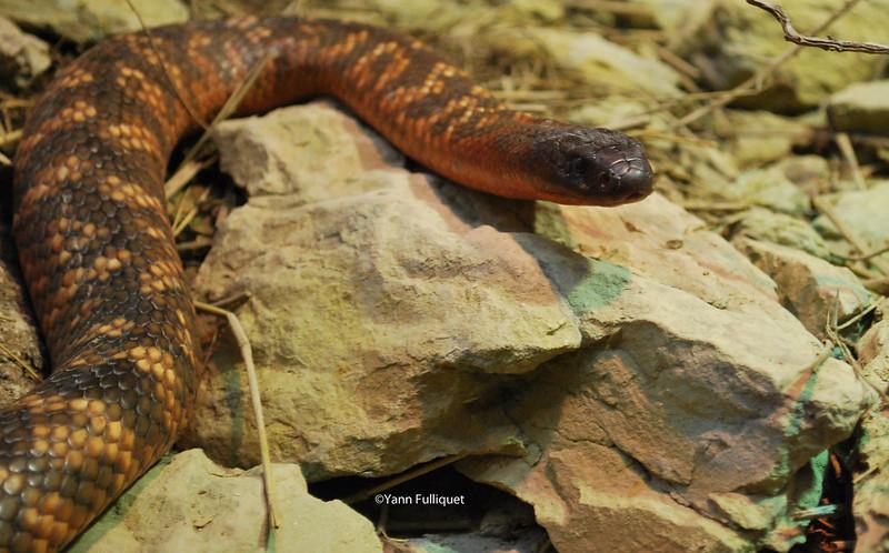 Protobothrops mangshanensis : Vivarium de Lausanne Suisse 8424336573_9461340d26_c
