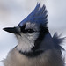 Wind Blown Blue Jay by nature55