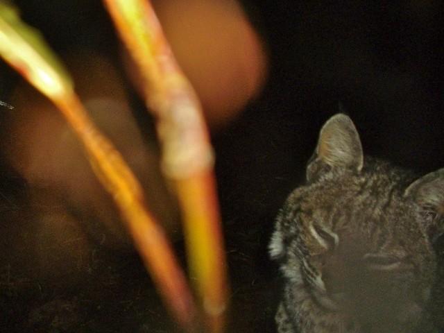 bobcat1