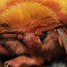 Gonimbrasia krucki silkmoth by Deanster1983 on and off for now