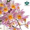 Dendrobium amabile #orchids #Orchidee #Orchideen #OrchIDEENgarten #orquídea #orquídeas #orchidées #orchidée #orchidej #orchideje #orkid #orkidéer #storczyki #storczyk #nature #naturelovers #iloveorchids #loveit #Blumen #colourful #colours #orchidacea #flo