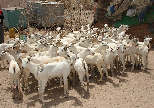 Young goats in Hargeisa Market, Somaliland