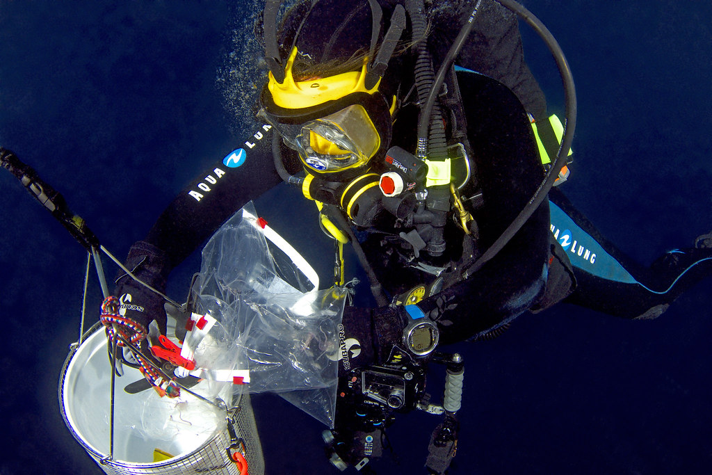<p>University of Hawaii at Manoa Assistant Research Professor Angel Yanagihara diving for box jellyfish. Photo credit: Keoki Stender, University of Hawaii Dive Safety Office.</p>