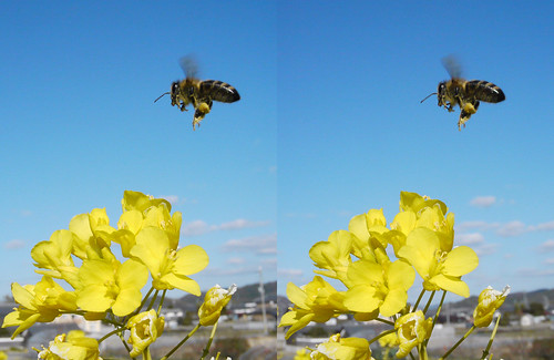 Apis cerana japonica, stereo parallel view
