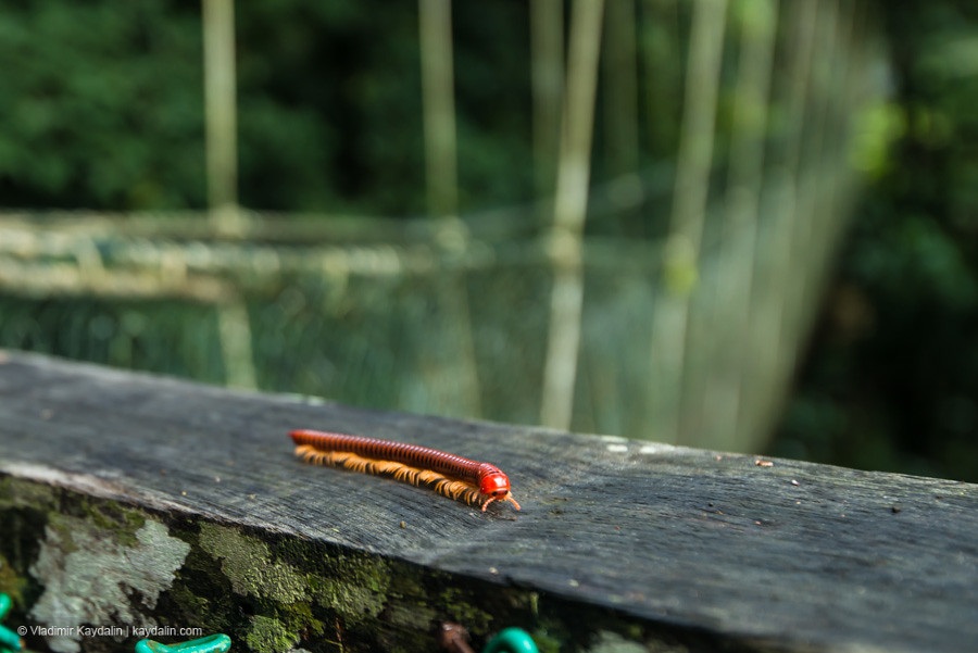сороконожка в малайзии