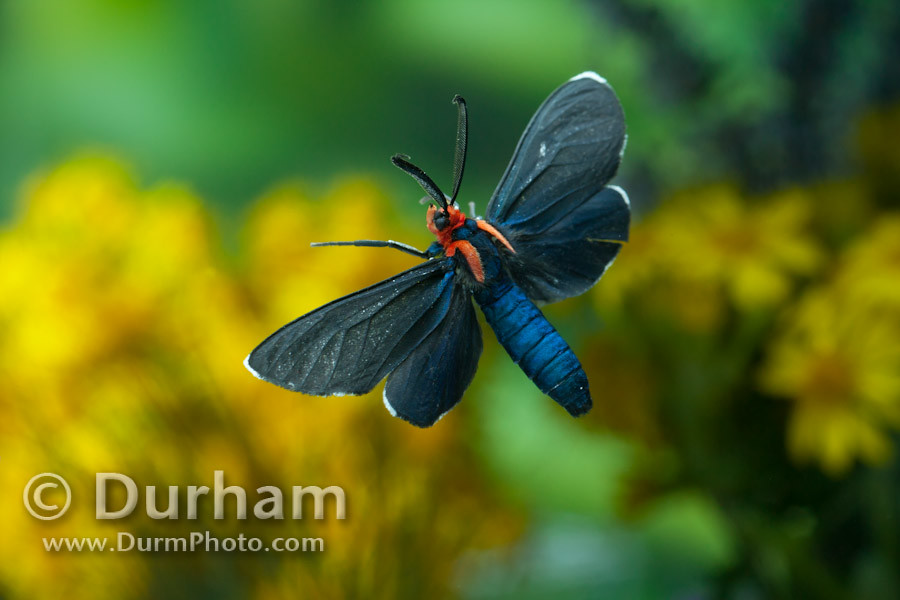 Flying Cinnabar moth