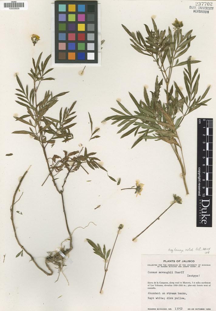 Asteraceae_Cosmos mcvaughii