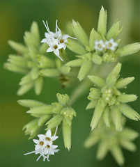 Stevia rebaudiana, Sweet Leaf