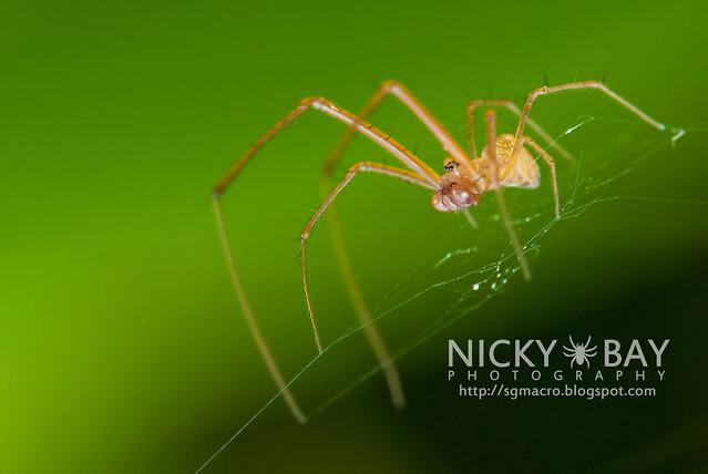 Striated Tylorida Spider (Tylorida striata) - DSC_3202