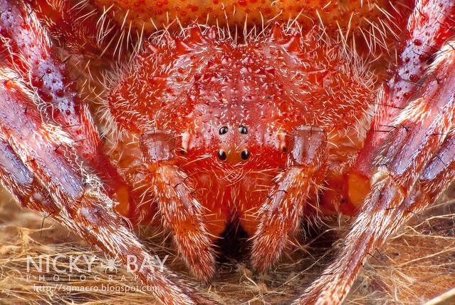 Red Tent Spider (Cyrtophora unicolor) - DSC_3083
