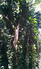 jungle_tree