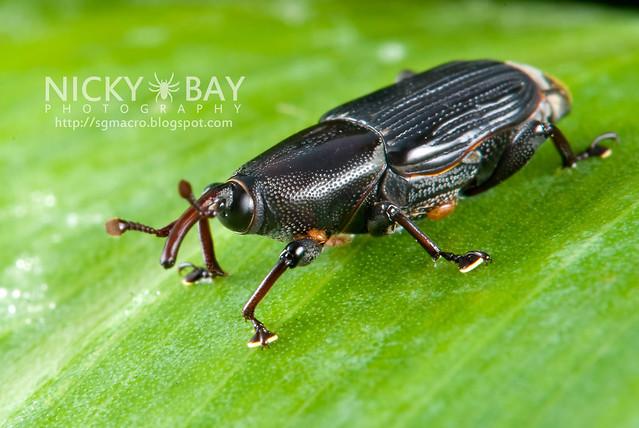 Agave Snout Weevil (Scyphophorus acupunctatus?) - DSC_7470
