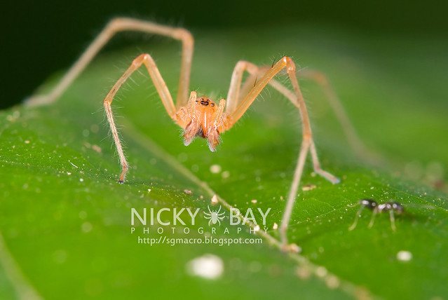 Long-Legged Sac Spider (Miturgidae) - DSC_7242