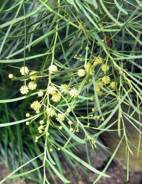 Acacia iteaphylla 8314976424_90ce36cf87_o