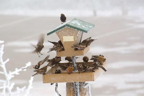 birds finches sandiacrest blackrosyfinch rosyfinches