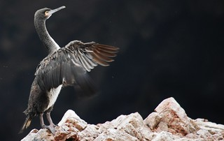 Guanay cormorant (Phalacrocorax bougainvillii)