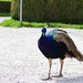 Small photo of Peacock at Ambras Castle