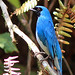 Swallow Tanager (Robert Davidson)