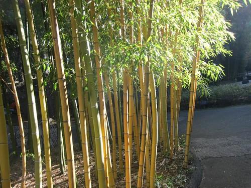 Hakone Japanese Gardens, Saratoga, CA, bamboo IMG_2479