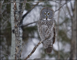 Great Grey Owl - (Strix nebulosa) - Elma, Manitoba