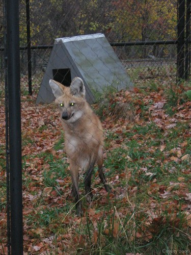 Maned wolf (6th of 8 photos) by Coyoty