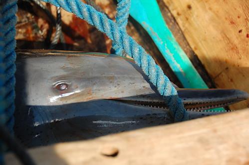 eat dolphin