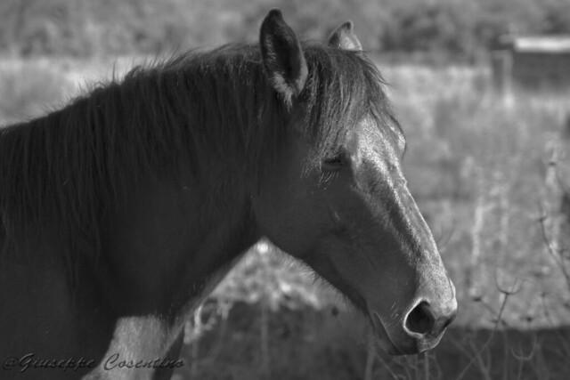 cavallo di Gograno (PA)