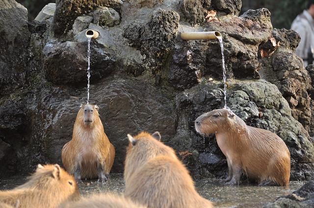 埼玉県こども動物自然公園のカピバラ