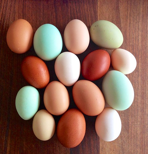 blue ny chicken beautiful cat easter perfect chocolate small egg large fancy eggs extraordinaire speckled bosco hens silkie wyandotte easthampton marans ameraucana welsummer campine