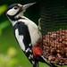 Woodpecker at Blaenfforest comp
