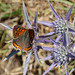 Small photo of Small Copper. Lycaena phlaeas. second brood