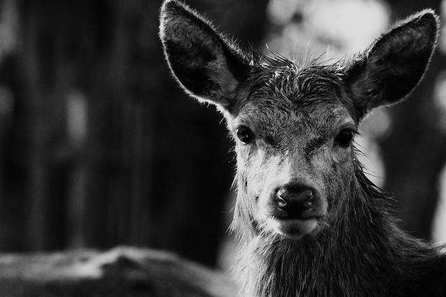Black and White deer | Flickr - Photo Sharing!
