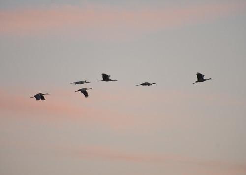 Sandhill Cranes in flight at dusk
