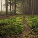 Forest Floor in Fog by Netsrak (on/off)