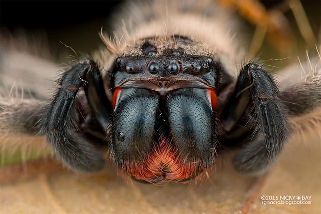 Huntsman spider (Rhitymna sp.) - DSC_0537b