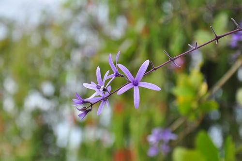 Bông Xanh (Petrea volubilis)