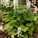 heartleaf foamflower - Photo (c) Tom Potterfield, some rights reserved (CC BY-NC-SA)